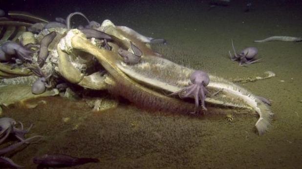 Imagen de la cabeza del cadáver de la ballena con varios pulpos y otros animales alimentándose de él