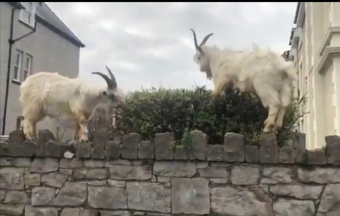 Las cabras son muy conocidas en el condado pero hata ahora no entraban en las ciudades