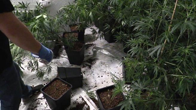 Marihuana incautada por los Mossos en el Maresme