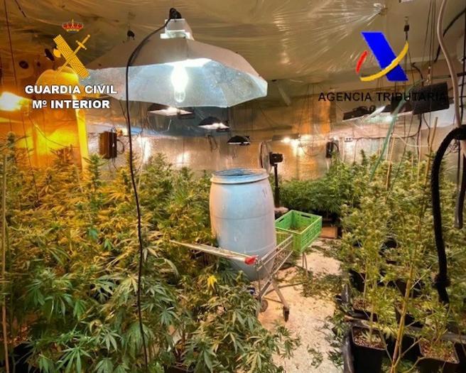 Plantas de marihuana intervenidas en la operación contra los Hells Angels en Tenerife