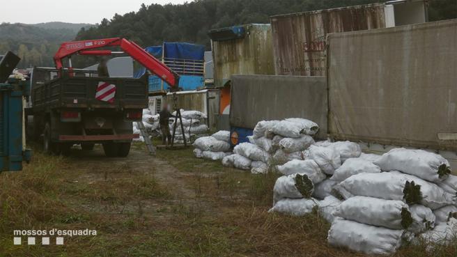 Una empresa de Sant Celoni almacenaba piñas recogidas furtivamente del Parc del Montnegre