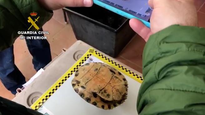 Un agente de la Guardia Civil toma medidas de una de las tortugas recuperadas en la operación policial