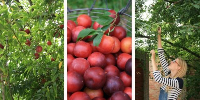 cherryplums
