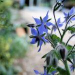 Blue on Blue! Blue Blossom Salad: Blue Cheese, Borage & Grilled Chicken Salad Recipe