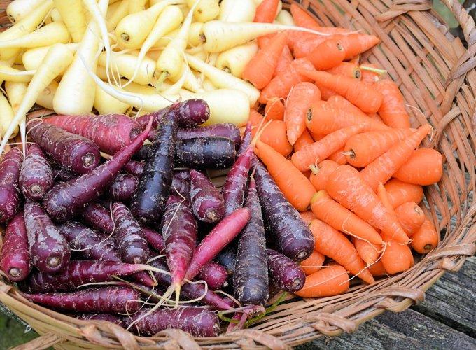 Purple. Orange and White Chantenay Carrots