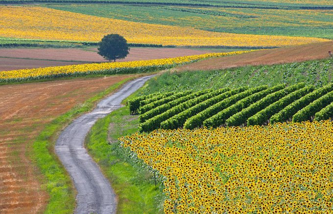 Sunflowers and Vineyards SW France