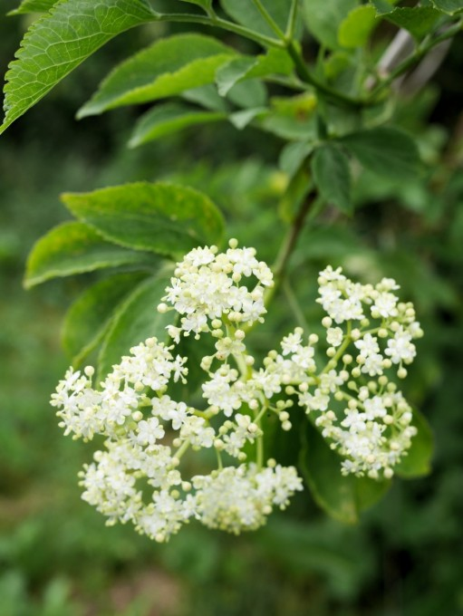 Organic Elderflowers