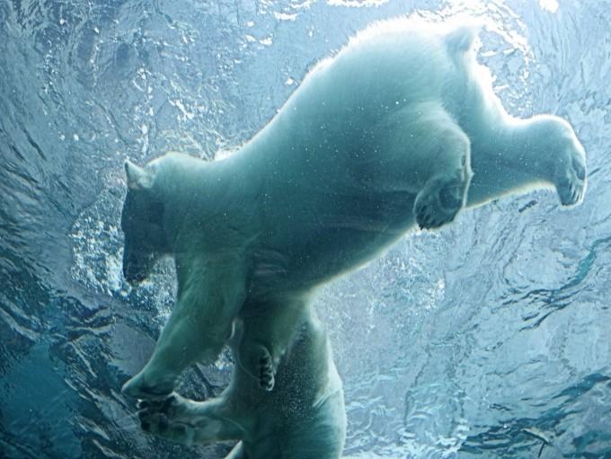 Polar Bears at Assiniboine Park Zoo