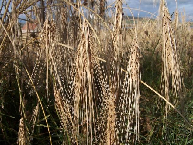 Bere Barley