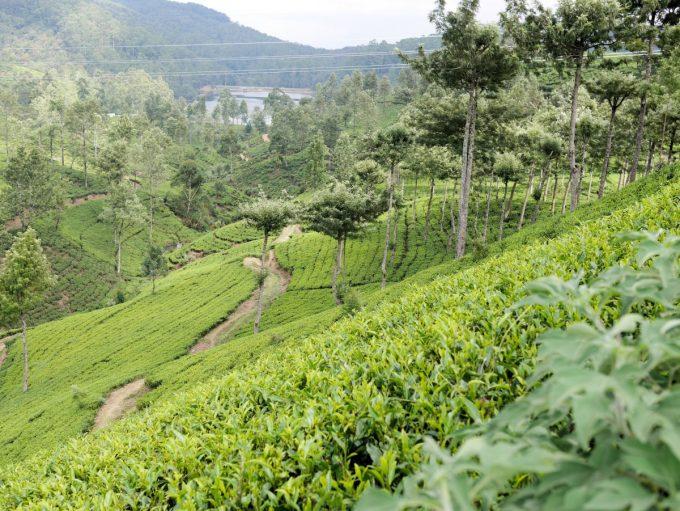 Pedro Tea Estate at Nuwara Eliya