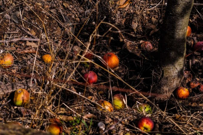 Old Apple Orchard and Windfalls