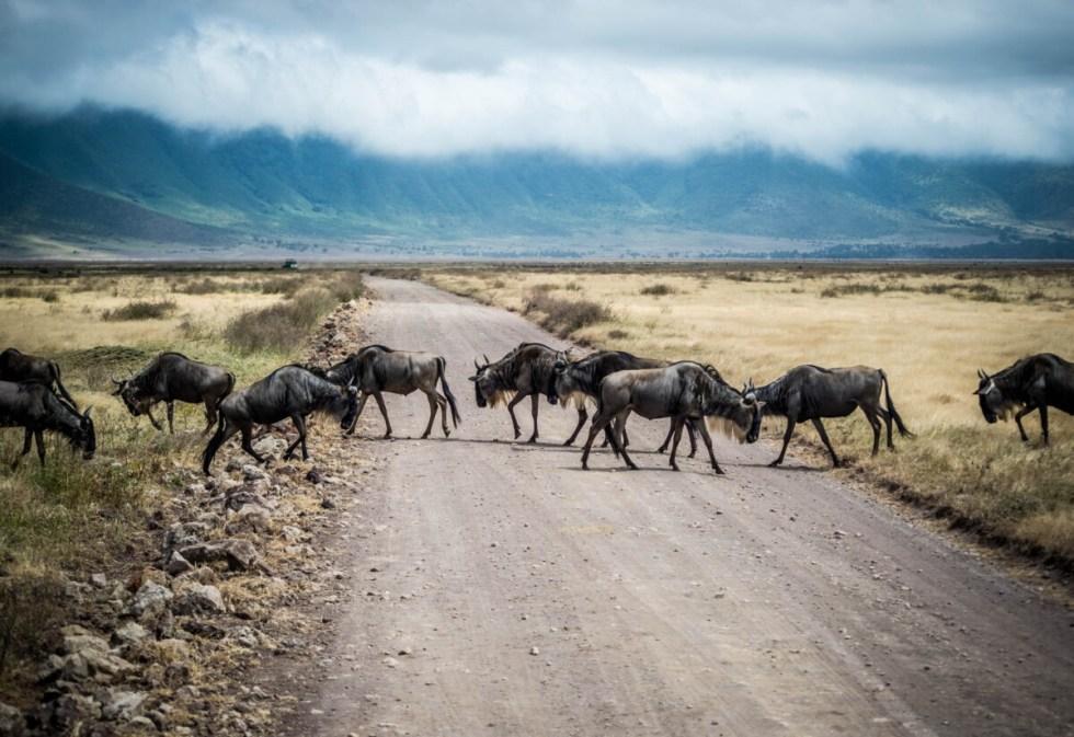 Wildebeest in Tanzania