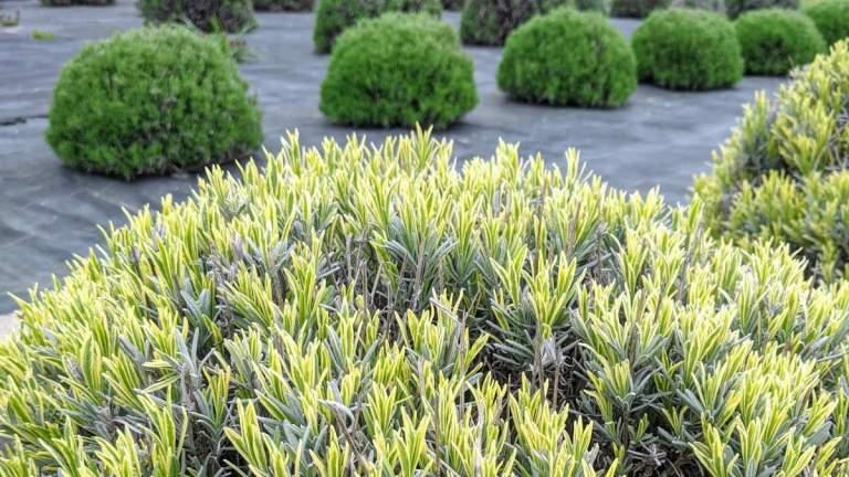 Spring Lavender Plants