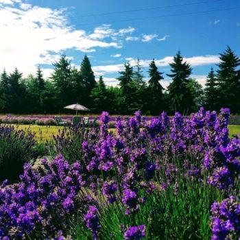 Lavender Connection Picnic Area