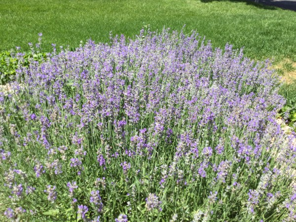 Why You should plant lavender in your garden