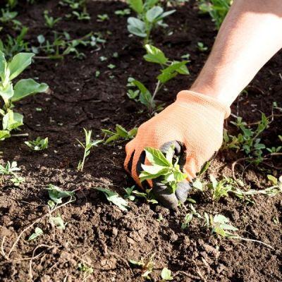 person weeding in the garden
