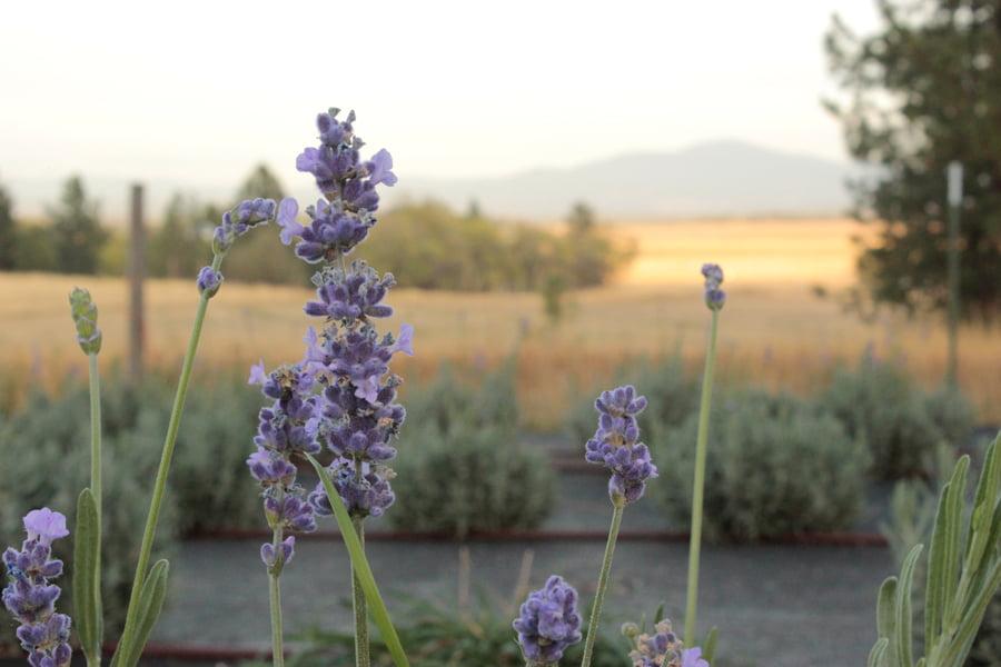 Lavender Overlooking Mt. Spokane in Autumn