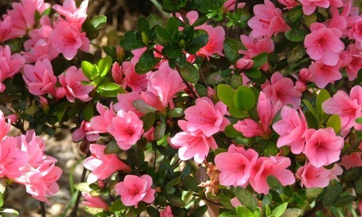 plantas de jardín azaleas