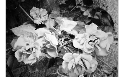 Des fleurs pour Salinger…