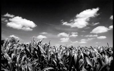 Maïs en juin