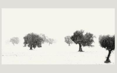 Oliviers/Pluie