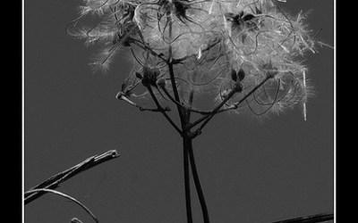 Fleur de barbelé