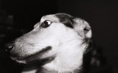 les chiens, quand ils sentent la compagnie, ils se dérangent, ils se décolliérisent