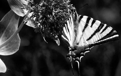 Papillon 1…