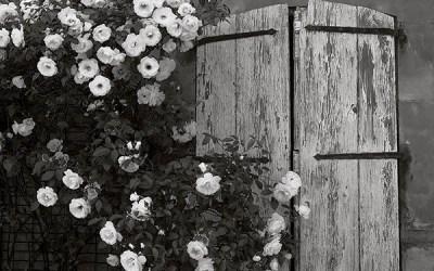 Roses blanches et volets clos