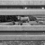 Les tôles ondulées, les vaches aussi.