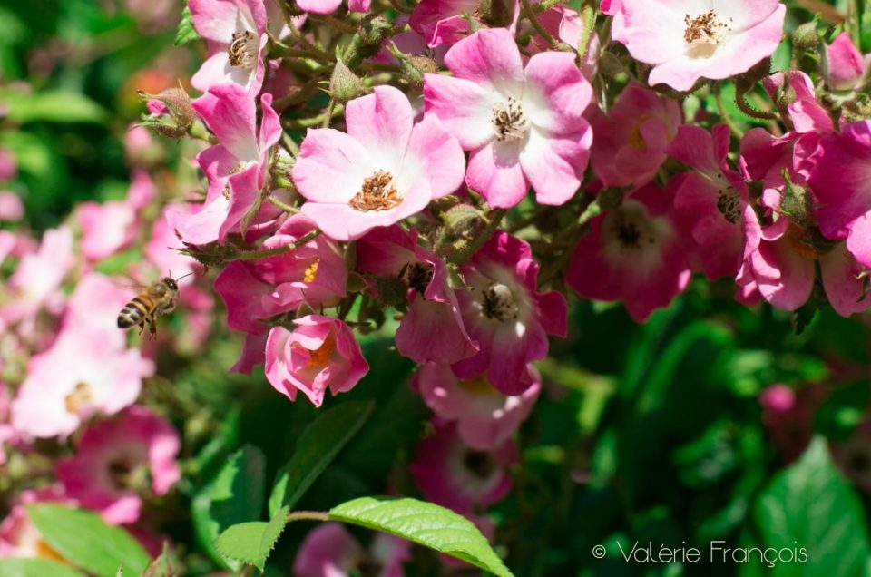 Apiculture urbaine : pour sauver les abeilles, plantons des fleurs sur nos balcons !