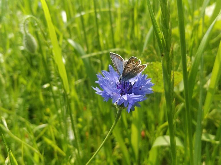Les abeilles ne sont pas les seuls insectes pollinisateurs. Il y a aussi les papillons.