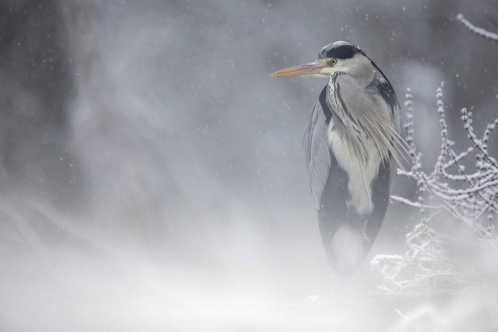 Héron sous la neige