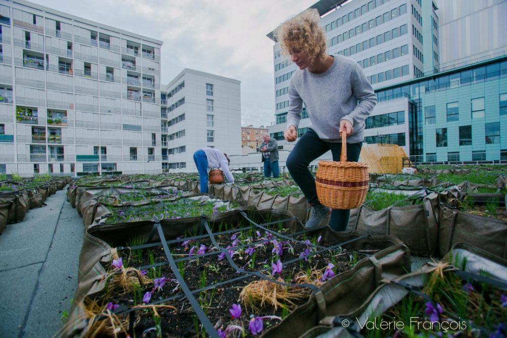 Récolte du safran sur les toits de Paris