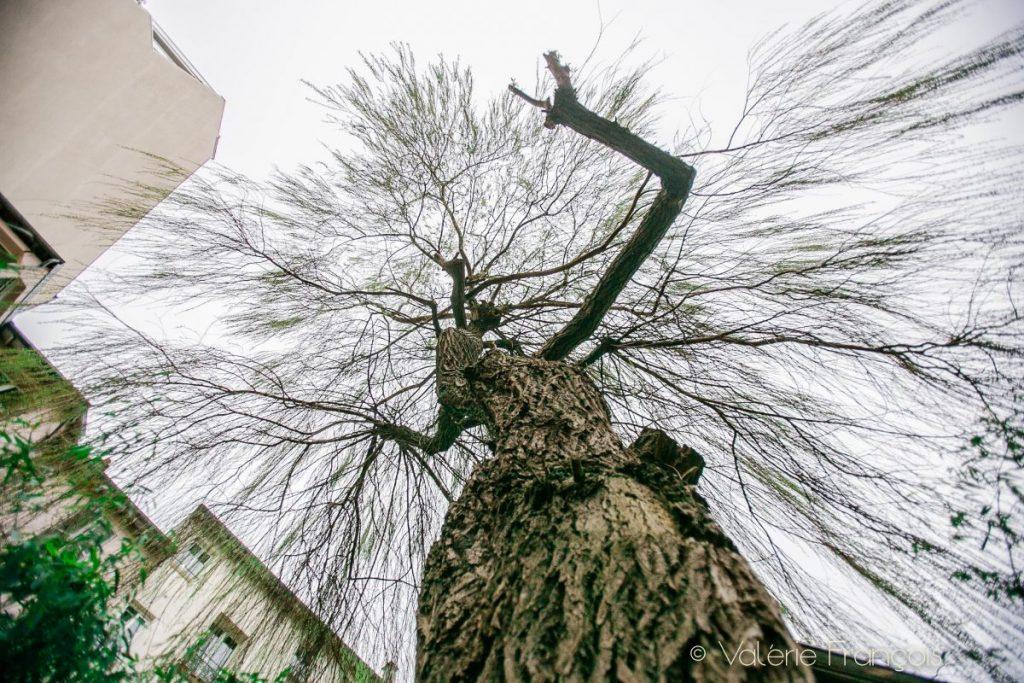 Saule pleureur -arbres en ville - Parc Fourchon