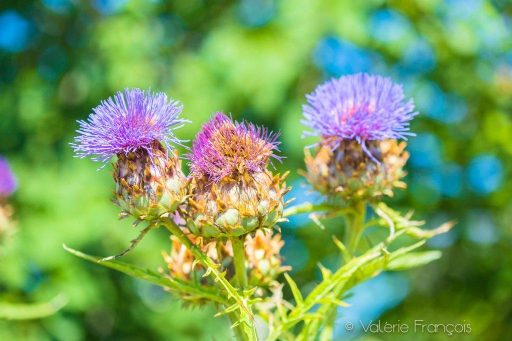 Fleurs d'artichaut - le jardin sur le toit