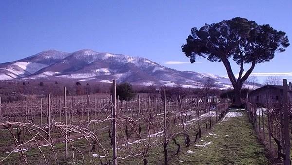 Un bellissimo albero tra le vigne di Luca e Sara Carbone