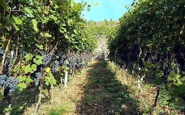 filare viti azienda Ar.Pe.Pe.