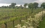 Ciliegiolo, vitigno minore di grande contemporaneità