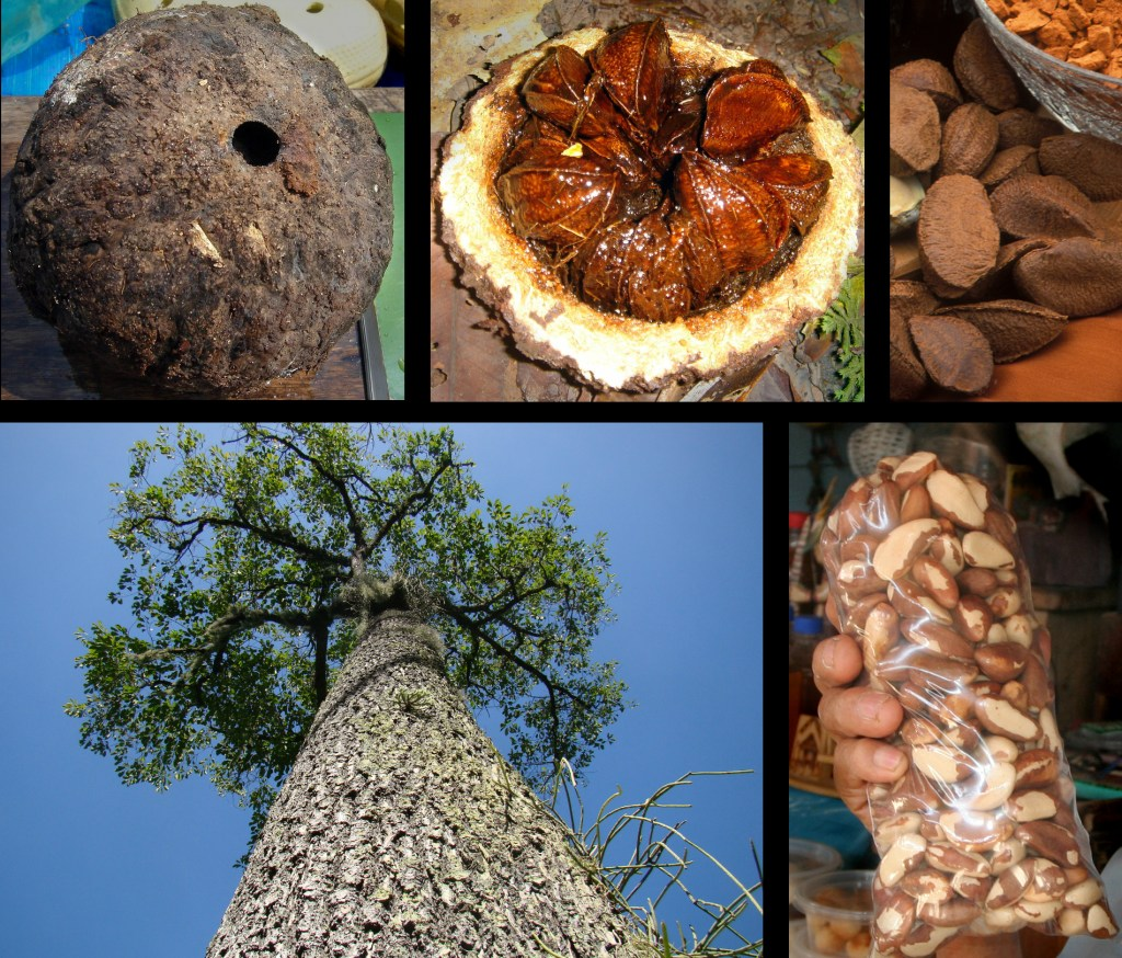 Brazil Nut Tree Collage