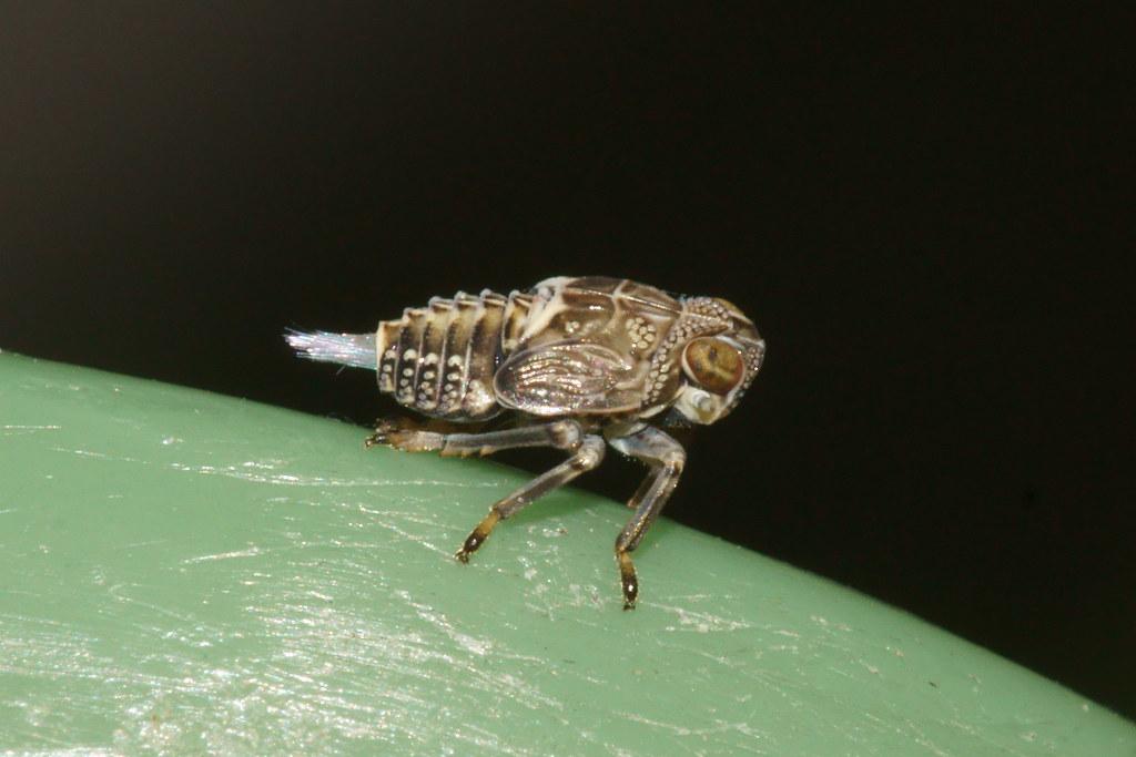 Juvenile Planthopper