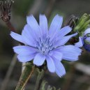 Chicory | lavocedelcarro.it