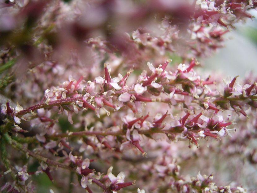 1280px-Tamarix_gallica_bloemen