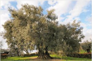 L'olivo di Canneto (Rieti)
