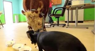 mucca cane