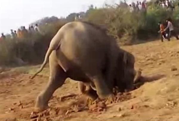 mamma elefante salva il suo piccolo