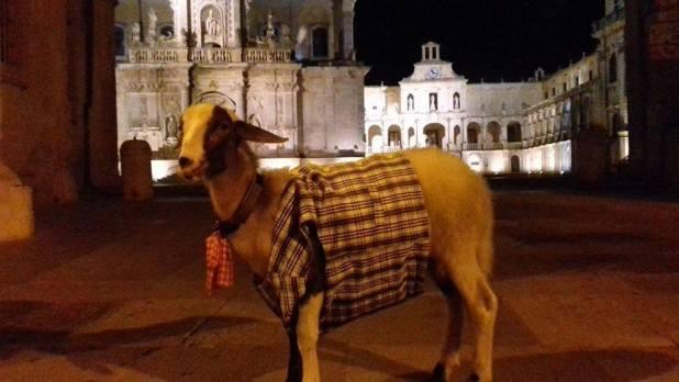 Oronzo l'agnello di compagnia a spasso per Lecce