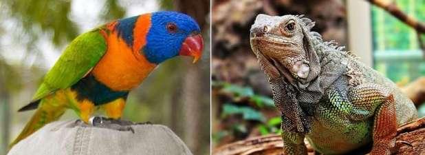 Esemplari di Pappagallo Lory arcobaleno e Iguana detenuti illegalmente sequestrati dal Nucleo Carabinieri CITES di Bari