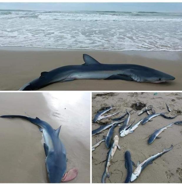 Litorale di Chiatona - Rinvenimento carcassa di squalo adulto e 21 cuccioli della specie verdesca