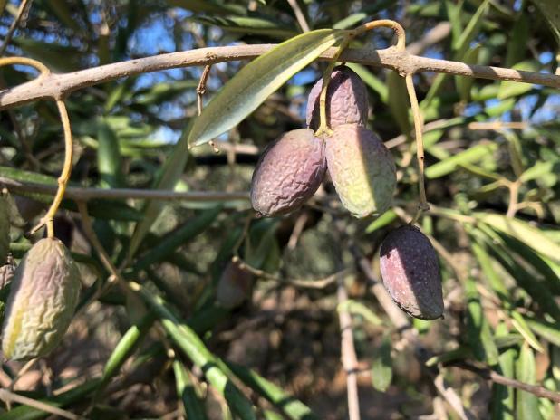 """Siccità record a ottobre, Cia Puglia: """"Olive avvizzite e campi a secco. È già calamità"""""""